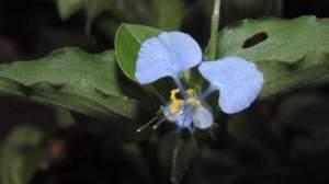 Commelina flower